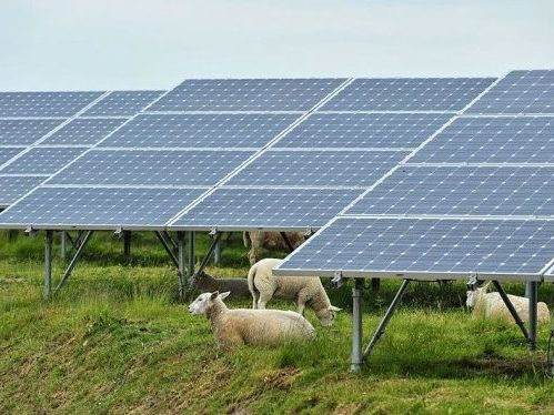 Chinese Solar Farms Seek Sheep to Keep Weeds Neat